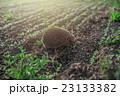 ワイルド 野生 はりねずみの写真 23133382
