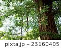 イチョウ 新緑 大木の写真 23160405