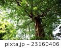 イチョウ 新緑 大木の写真 23160406