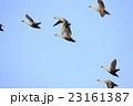 飛行するカルガモ 23161387