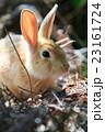うさぎ島 大久野島 兎の写真 23161724