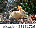 野生のウサギ -うさぎの楽園 大久野島- 23161726