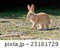野生のウサギ -うさぎの楽園 大久野島- 23161729