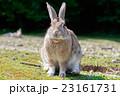 うさぎ島 大久野島 兎の写真 23161731