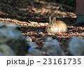 野生の仔ウサギ -うさぎの楽園 大久野島- 23161735