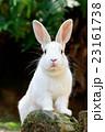 野生のウサギ -うさぎの楽園 大久野島- 23161738