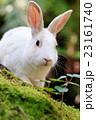 野生のウサギ -うさぎの楽園 大久野島- 23161740