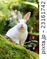 野生のウサギ -うさぎの楽園 大久野島- 23161742