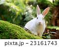 うさぎ島 大久野島 兎の写真 23161743