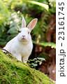 うさぎ島 大久野島 兎の写真 23161745