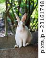 野生のウサギ -うさぎの楽園 大久野島- 23161748