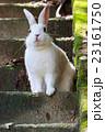 うさぎ島 大久野島 兎の写真 23161750