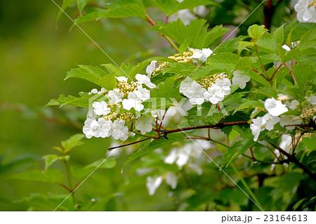 紫陽花に似た白い花を咲かせるカンボク(肝木) 23164613