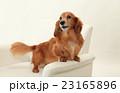 ミニチュアダックス ミニチュアダックスフンド 犬の写真 23165896