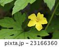 ゴーヤ ツルレイシ ゴーヤの花の写真 23166360