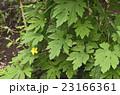 ゴーヤ ツルレイシ ゴーヤの花の写真 23166361