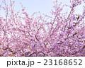 カワヅザクラ 23168652