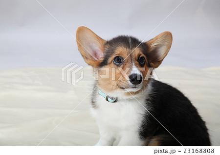 かわいい耳のコーギー 23168808