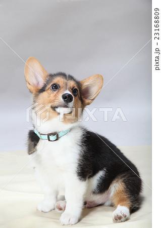 かわいい耳のコーギー 23168809