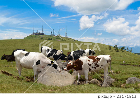 美ヶ原高原の塩くれ場で塩をなめる牛とテレビ塔の風景 23171813