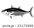 カツオ 白バック 魚のイラスト 23173898