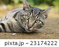 野良猫 23174222