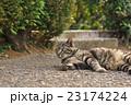 野良猫 23174224
