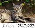 野良猫 23174227