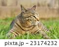 野良猫 23174232