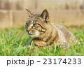 野良猫 23174233
