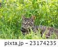 野良猫 23174235