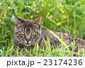 野良猫 23174236