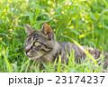 野良猫 23174237