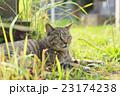 野良猫 23174238
