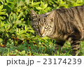 野良猫 23174239