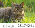 野良猫 23174241