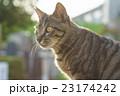 野良猫 23174242