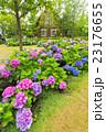 アジサイ 花 お花の写真 23176655
