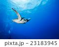 小笠原の海を泳ぐアオウミガメ 23183945