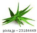 アロエベラ 葉 多肉植物の写真 23184449