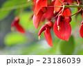 アメリカデイゴ デイゴ 花の写真 23186039