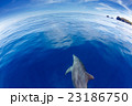 小笠原の凪の海を泳ぐミナミハンドウイルカ 23186750