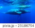 ザトウクジラの親子 23186754