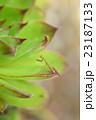 多肉植物と子供のカマキリ 23187133