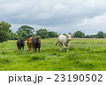 アイルランド牛 Irish cow 23190502