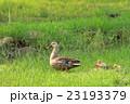 舎人公園の草原のカルガモの親子 23193379