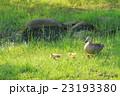 舎人公園の草原のカルガモの親子 23193380