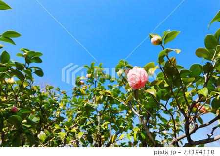 日比谷公園の淡いピンク色のツバキの花と蕾 23194110