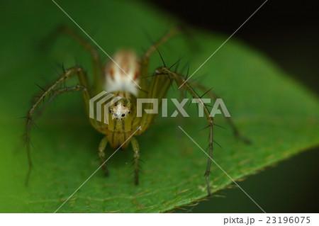 生き物 蜘蛛 ササグモ、メスです。巣を作らず歩き回って餌を探します。正面顔は愛嬌があります 23196075