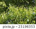 クスノキ クス 葉の写真 23196353
